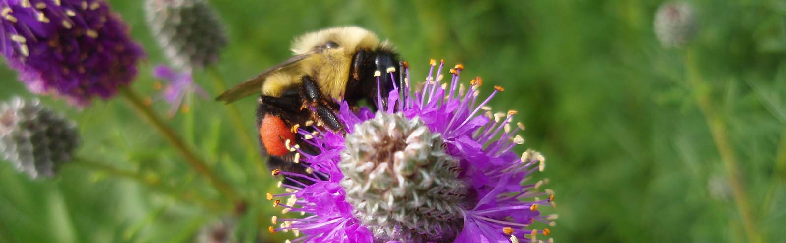 Bumble bee loaded with pollen visiting a pink prairie clover flower