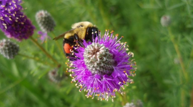 Bumble bee collecting pollen on a purple prairie clover flower.