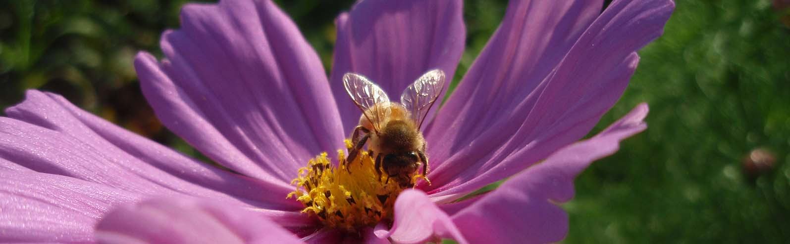 Honey bee on a pink cosmo flower