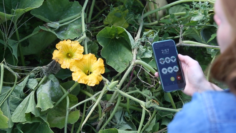 squash flowers and bees and phone showing WiBee survey screen