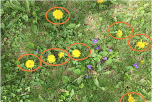 patch of lawn with dandelions and violets, dandelions circled